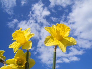 Daffodils in front of blue sky with clouds