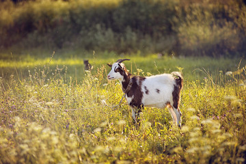 The goat stands in the field in summer.