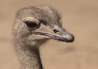 portrait of a young ostrich