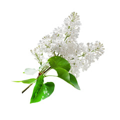 Branch of a blossoming white lilac isolated on white background. Design element.