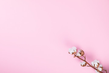 Cotton  plant flower. Branch Delicate white on the Pink Paper. Minimal Fashion Stillife.  Concept  Trendy Bright Colors.Copy space for Text.Top View. Flat Lay.