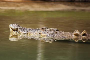 Leistenkrokodil (Crocodylus porosus) in Queensland, Australien.