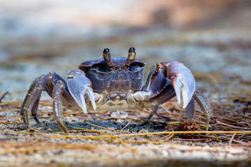 Spider Crab (Neosarmatium meinerti) auf Cousin, Seychellen.