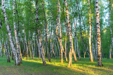 birch grove in the rays of the sun in the early morning, horizontal composition