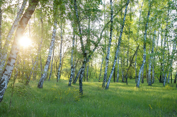birch grove in the morning, the sun through the trees, horizontal composition