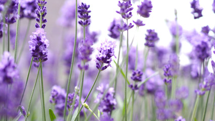 Tuinposter Lavendel Lavender flowers blooming which have purple color and good fragrant for relaxing in summer.
