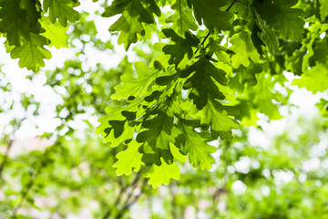 green leaves of oak tree in forest in summer