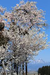 米沢の千歳桜(福島県・会津美里町)
