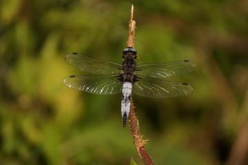 Une libellule au soleil - Vue de face