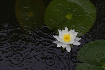 Fond de hotte en verre imprimé Nénuphars 雨と睡蓮(water lily)