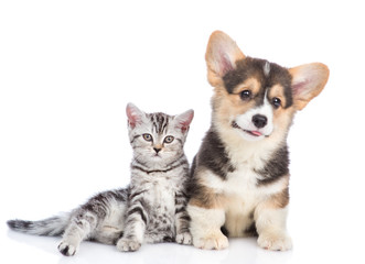 Corgi puppy with scottish tabby kitten. isolated on white background