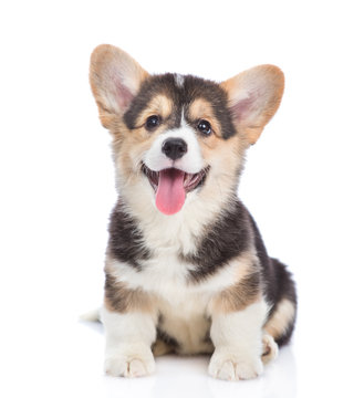 Happy Brown Pembroke Welsh Corgi puppy looking at camera. isolated on white background