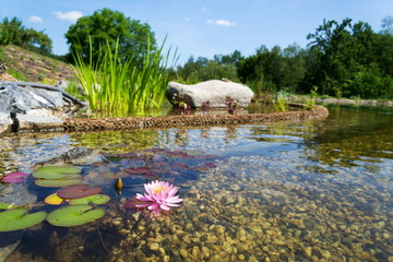 Beautiful water lily plants used at natural swimming pool for filtering and purifying water without chemicals