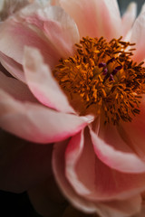 Close up of a peony