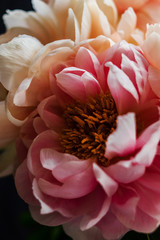 Close up pink peony
