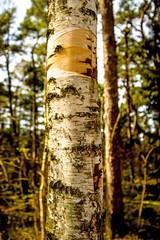 bark of a moor birch