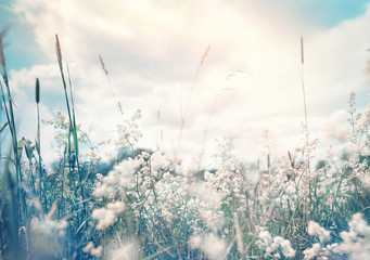Wall Mural - Wild blossoming grass in field meadow in nature on background sky with clouds, defocused, close-up. Beautiful summer nature landscape in vintage pastel colors, copy space.