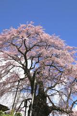 上石の不動桜(福島県・郡山市)