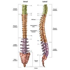 Skeleton Spine .Lateral+ Dorsal