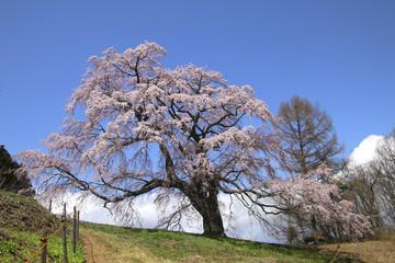 五斗蒔田桜(福島県・郡山市)