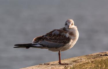 Möwen (Laridae) an der Ostsee. Insel Usedom.