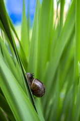 Little cute snail crawls along the lush green grass, sunny summer day. Close-up.
