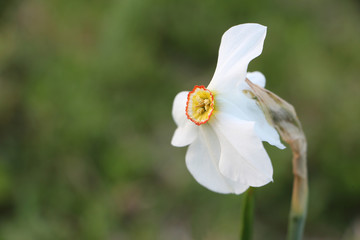 White daffodil on a background of green grass in the garden