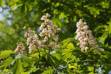 Kastanienblüten auf  Baumzweigen