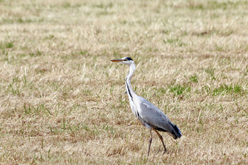 great blue heron looking for food in pasture where the hay has been collected