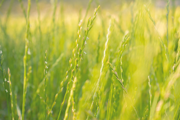 Close up of green wheat ears at large cultivation field in soft orange sunset light, clear sky, horizon, vintage filter, glare effect, wheat spica. Background, copy space, top view.