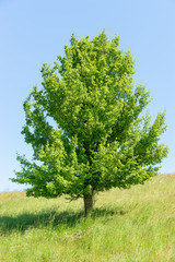 Einzelbaum auf der Wiese