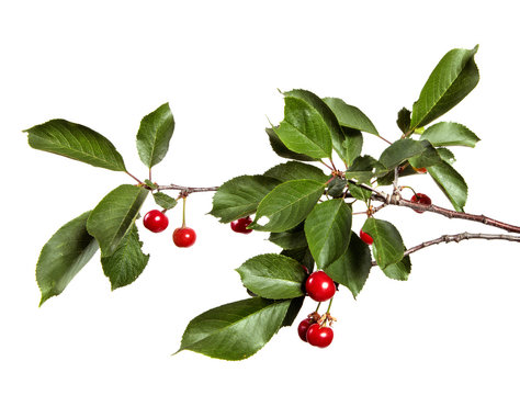 Cherry tree branch with red cherry berries and green foliage on a white isolated background.