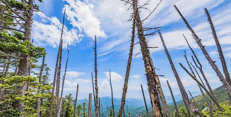 立ち枯れの木と青空