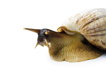 Giant african snail isolated on white background