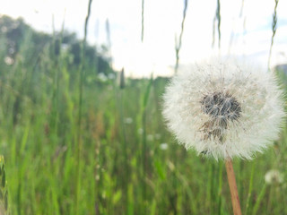 White dandelion flower in a field