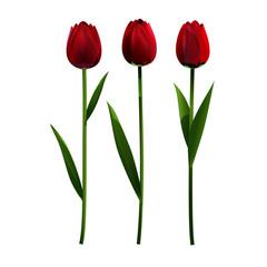 Flower tulip-rose maroon-red color. Set.