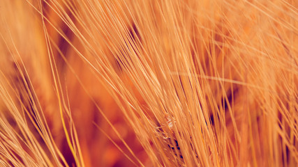 Wheat beard as abstract background