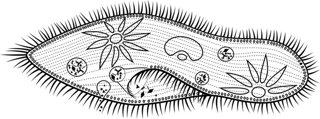Coloring page. Structure of Paramecium caudatum