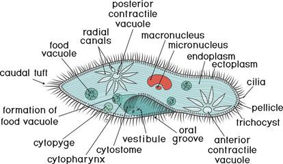 Structure of Paramecium caudatum with titles