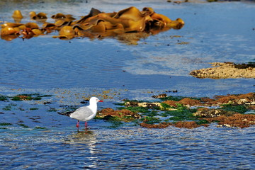 Seagull with red beak strolls along the seashore