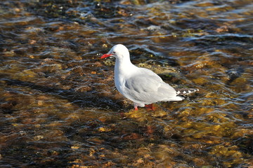 Seagull walks along the bottom of a shallow gulf
