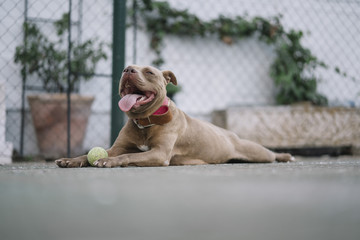 Brown Pitbull dog playing with the ball.