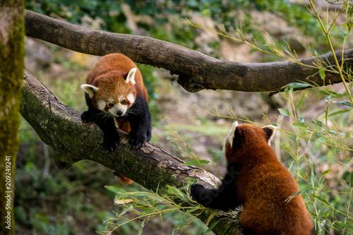 Zwei Rote Pandas Sitzen Auf Einem Ast Und Fressen Bambus Stock