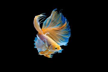 Foto op Plexiglas Vissen The moving moment beautiful of yellow siamese betta fish or half moon betta splendens fighting fish in thailand on black background. Thailand called Pla-kad or dumbo big ear fish.