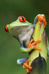 Curious Red-eyed Tree frog (Agalychnis callidryas) in Rainforest