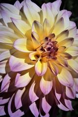 Beautiful Dahlia flowers blooming in a garden