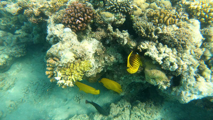 Fish of the Red Sea. Multicolored fish swim over the corals