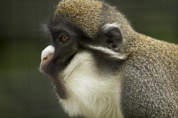 Gibbon Yelling
