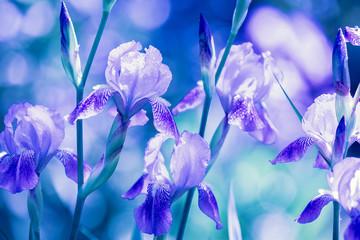Blue Iris flowers in the garden after rain