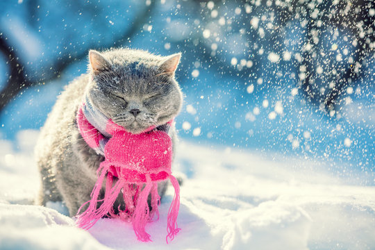Portrait of the Blue British Shorthair cat, wearing knitted scarf. Cat sitting outdoors in the snow in winter during snowfall